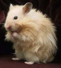 Hamster Syrian Long Hair