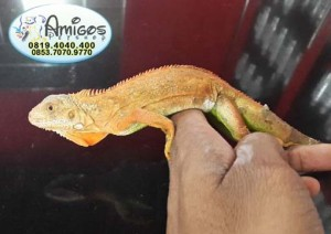 Iguana Red #4