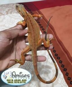 Iguana Red #3