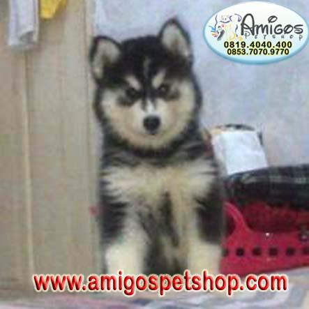 Anjing siberian Husky, anjing di jual, siberian husky di jual, Chiwa - wa, jenis anjing, anjing di jual, jual beli hewan peliharaan,
