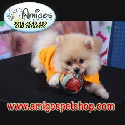 anjing minipom murah, jual anjing, Chiwa - wa, jenis anjing, anjing di jual, jual beli hewan peliharaan,