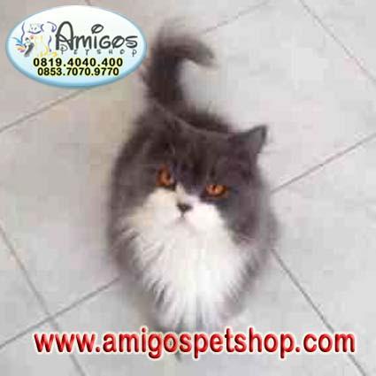 Kucing Persia Flat