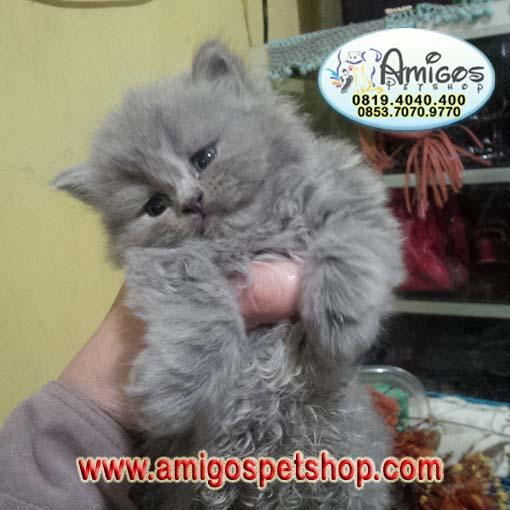 kucing persia, kucing anggora, jual beli kucing persia